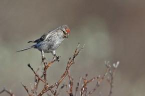 Common Redpoll, female right above her nest. I didn't linger.
