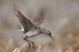 This wood sandpiper is about to get lucky - I have shots of him mating too, but the girl is just about completely hidden in the reeds so this shot is actually more interesting.
