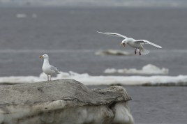 The glaucus gull is one of my favourites - very pretty in its breeding plumage, not least in an arctic environment like here.