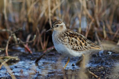 Long-toed stint.