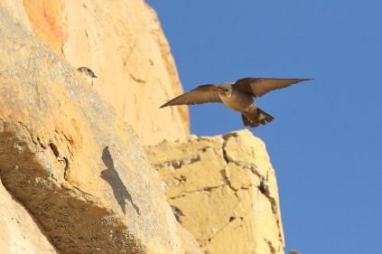 Eurasian Crag Martin