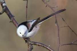 Long-tailed tit, northern race.