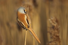Good thing these little birds aren't keen to go on big overseas expeditions - the wings look almost ridiculously small, and true enough they aren't really big aerial stars. But down among the reeds, short wings are just what a little bird needs.