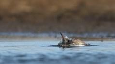 Marsh sandpiper morning ablutions.