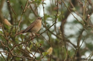 Common grasshopper warbler, named for its conspicuous song, which closely resembles the chirp of a grasshopper. Click to enlarge.