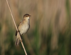 This one is a confirmed reed warbler...