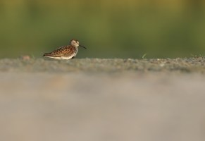 A Dunlin calidris alpina in an attractive setting - click to view in full size.
