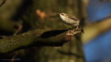 Short-toed treecreeper doing a BASE jump