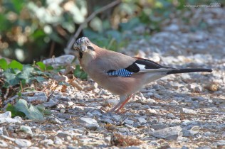 Eurasian jay (Garrulus glandarius) on a nearby forest path.