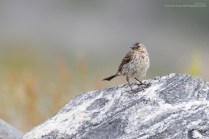 Pipit on a rock - rock pipit.