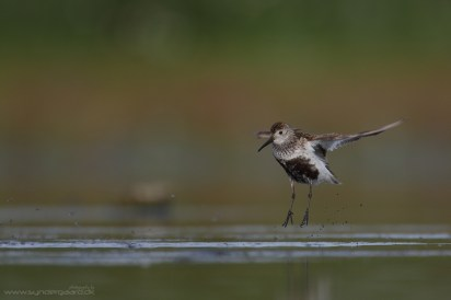 Super fast and super agile birds, images in flight are almost down to luck.