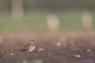 The Common snipe in somewhat flat light.