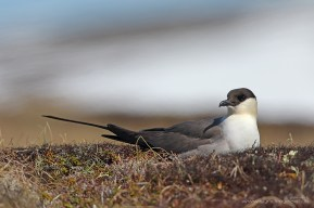 """Long-tailed skua (Stercorarius longicaudus) on its nest in Chukotka, Siberia. Many things come together to create an attractive bird portrait here; angle, light, and the snowfields in the background. A later hour/more reddish tinge would have added an extra dimension, but if every shot was perfect from the word """"go"""" then it would quickly become boring. EOS 7DII with 600mm, 1/2000 at f7.1, ISO320."""