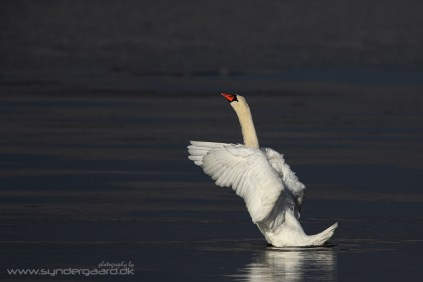 The Mute swan (Cygnus olor), a white bird, is photographed against a dark background. In this situation you need to underexpose the entire image to avoid overexposing the bird. This has the added benefit of turning the background even darker than it was on location, something that looks rather nice.