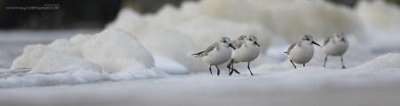 De små bæster høvler i alle retninger, og gemmer sig ofte bag ved skumklatterne på stranden. Sporingsfølsomhed -1 eller ligefrem -2, og Accel./decel. sporing +1. Sandløber ved Hvide Sande.