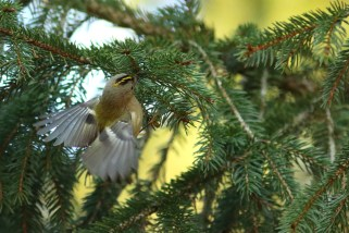 Fuglekonger er nogle af de mest udfordrende motiver. De sidder ikke stille et øjeblik, og de forsvinder hele tiden bag bevoksning. Sporingsfølsomhed -1.