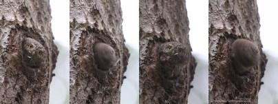 Spurveuglen (Glaucidium passerinum) er Europas mindste ugle, ikke større end en Stær. Den lever af småfugle, og sørger for at æggene klækker lige når mejserne har udfløjne unger - disse er nemme at fange, og de 5+ unger i hullet spiser MANGE. Derfor bruger hunne megen tid på at fjerne fjer og dun fra hullet, det er ikke altid lige let, som det ses.