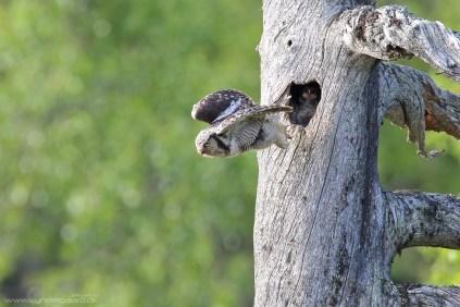 Her har hunnen lige afleveret en mosegris til de sultne unger.