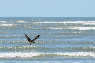 Osprey taking off after failed fishing attempt.