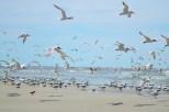 Royal Terns, Black Skimmers, and Sanderling