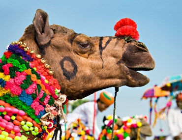 A decorated camel at the Pushkar Camel Fair in Rajasthan, India.