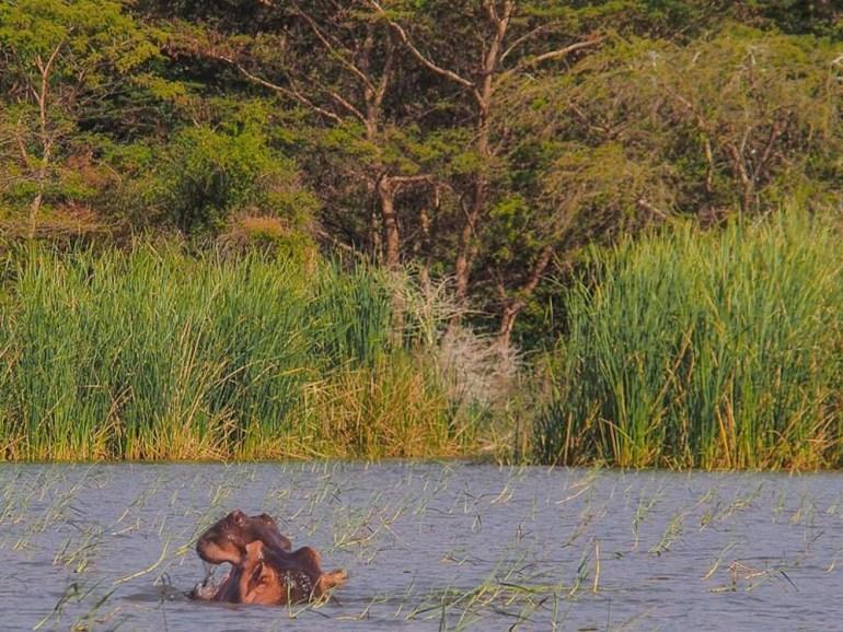 Hippo in Lake Chamo
