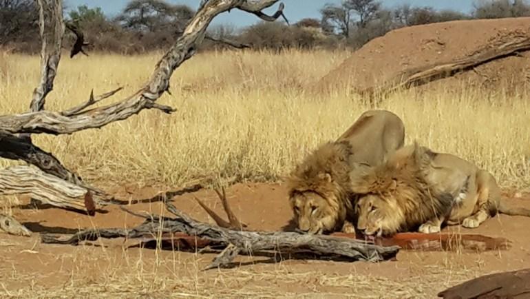 Ultimate-Safaris-Desert-Lion20150910_090933_sm