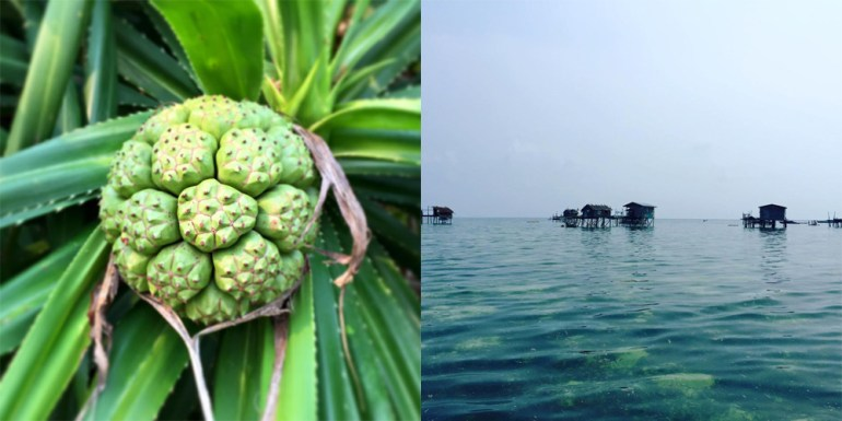 Pandanus-fruit-Bajau-Laut-sea-gypsy-stilt-village