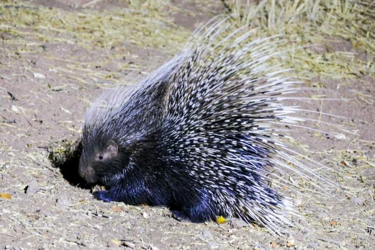 Porcupine---Africat-1