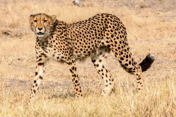 Cheetah—Xakanaxa-Moremi