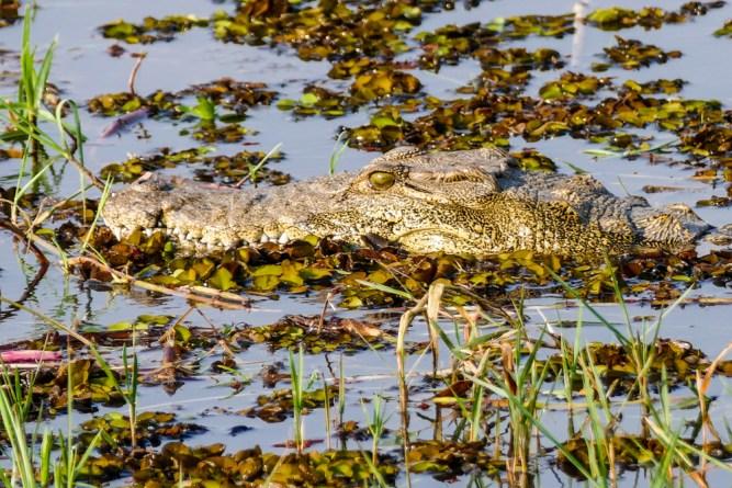 Crocodile—Khwai