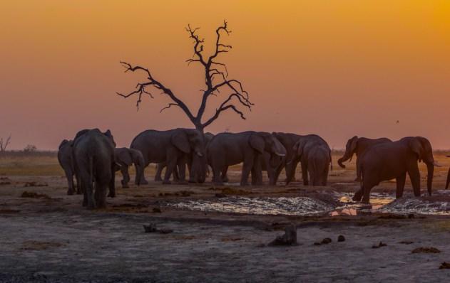 Elephants—Savuti