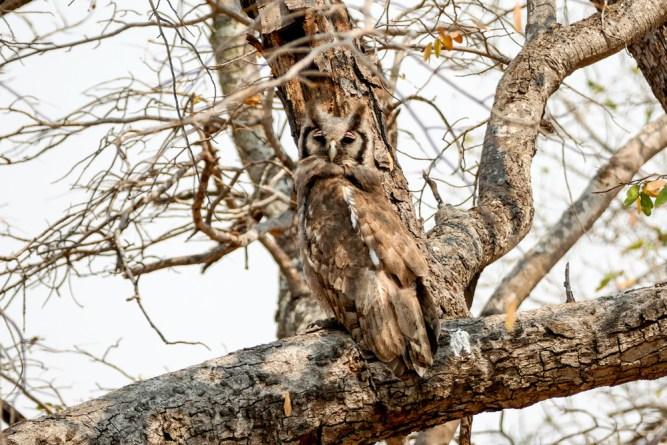 Giant-Eagle-Owl—Chobe
