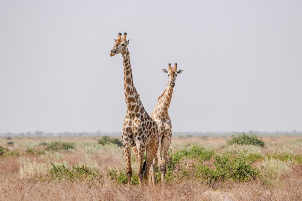 Giraffe—Savuti