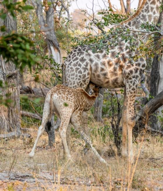 Giraffe—Xakanaxa-Moremi