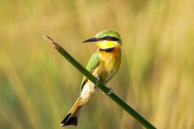 Little-Bee-Eater—Xugana
