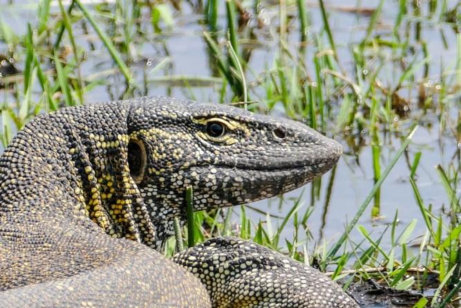 Monitor-Lizard—Khwai