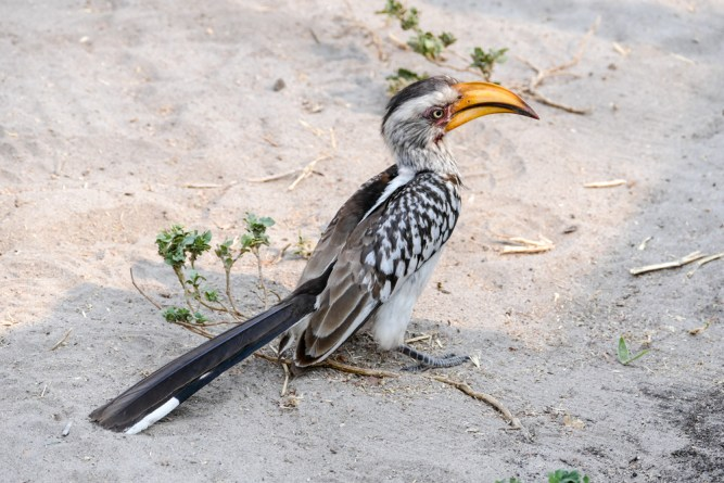 Southern-Yellow-billed-Hornbill—Savuti