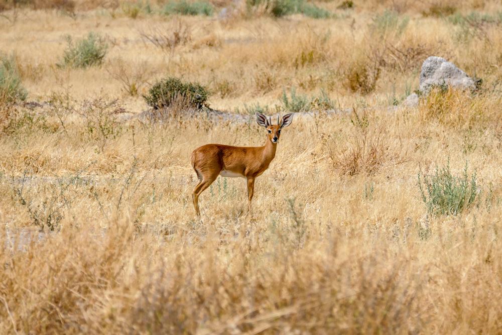 Steenbok—Savuti