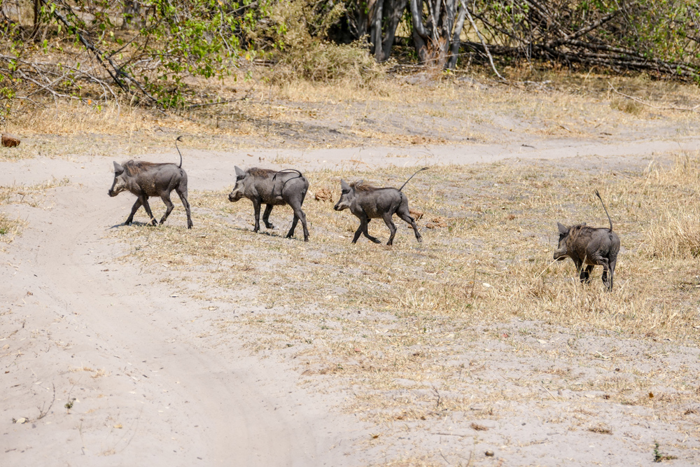 Warthog—Khwai
