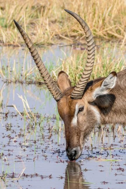 Waterbuck—Khwai
