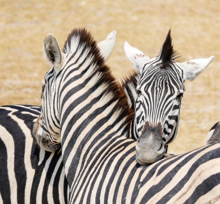 Zebra—Xakanaxa-Moremi
