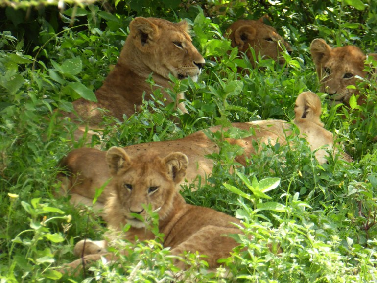 lions in the brush