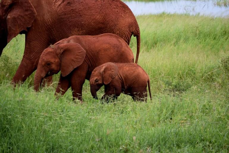 elepants covered in orange mud