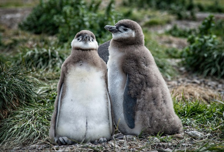 38-Juvenile-Magellanic-Penguins,-Martillo-Island-crop
