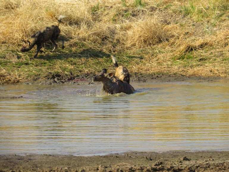 wild dogs hunt kudu in watering hole Namibia