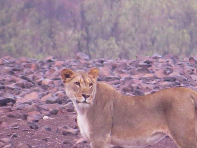 desert lion Namibia
