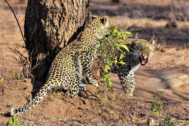 mother daughter leopard at tree growl