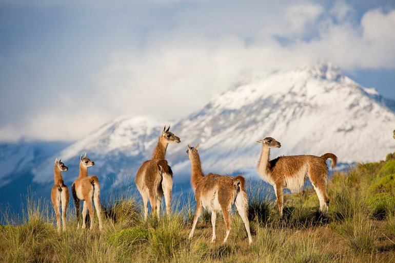 Guanaco pack in Patagonia