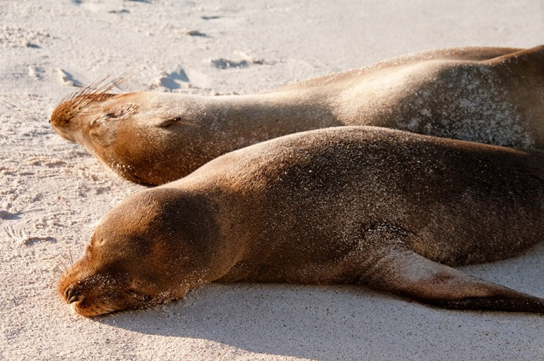 Sea lions sunbathing in the galapagos